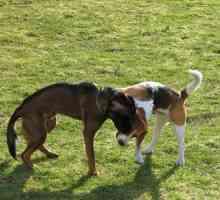 Titer rábica para cães